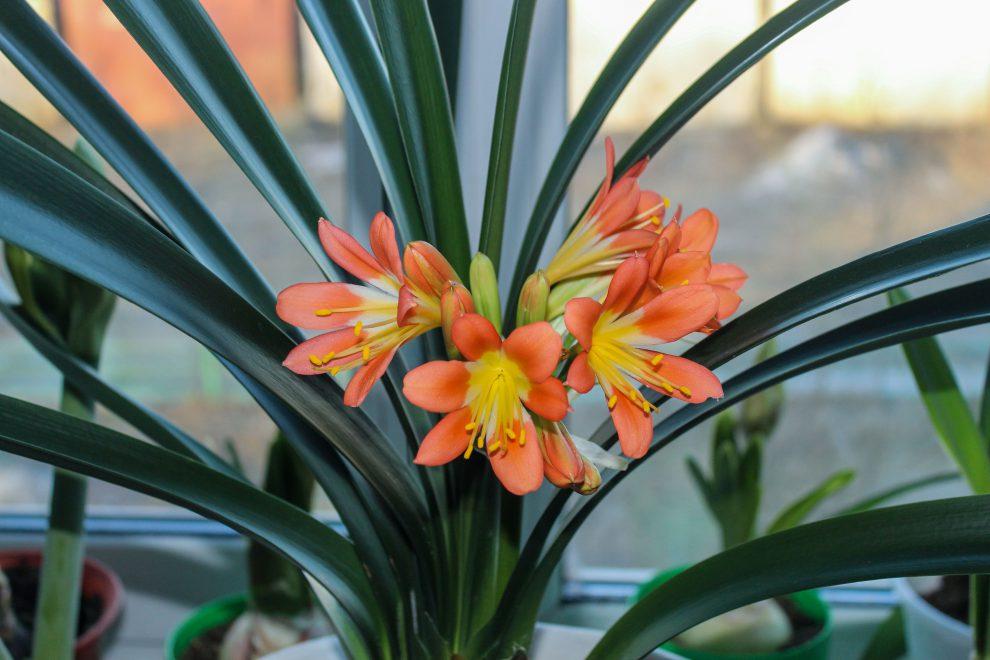 Klivija (gėlė)