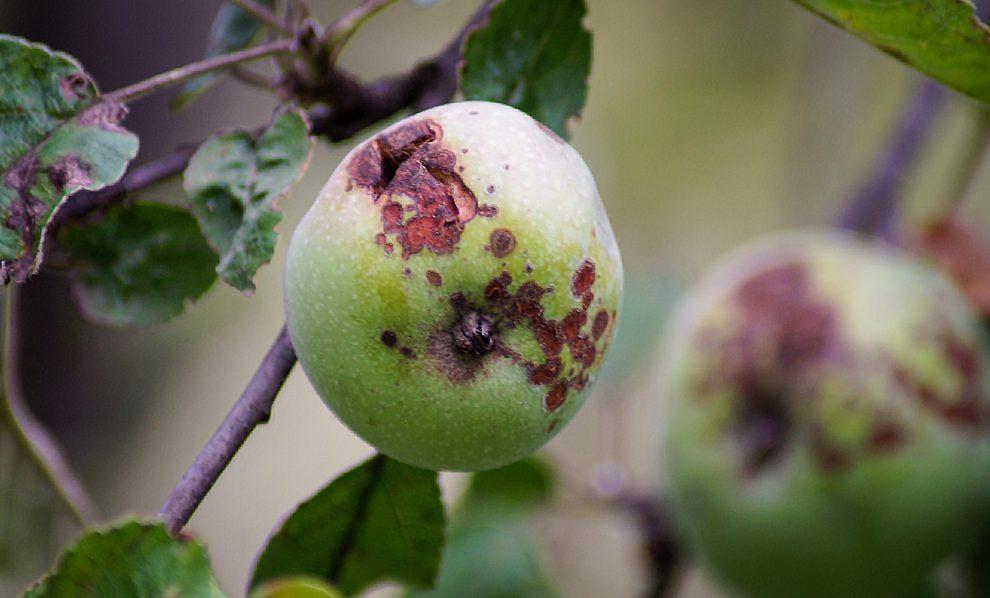 Obelų ligos