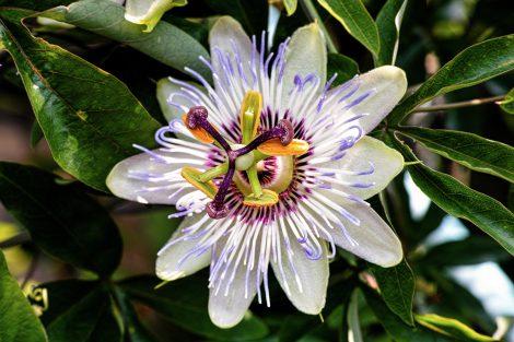 Pasifloras