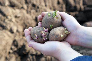 Daigintų bulvių sodinimas