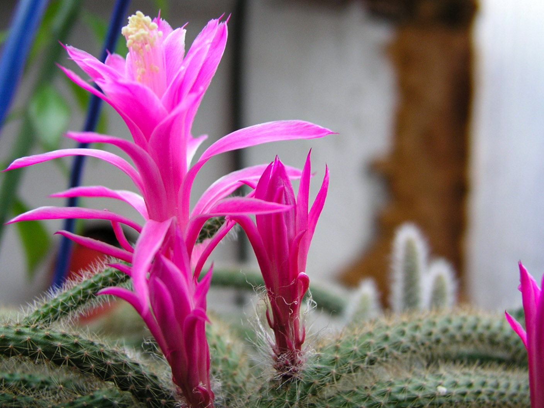 Kaktusas 'Skridinaitis'
