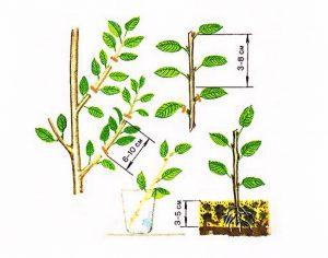 Šilauogių dauginimas auginiais