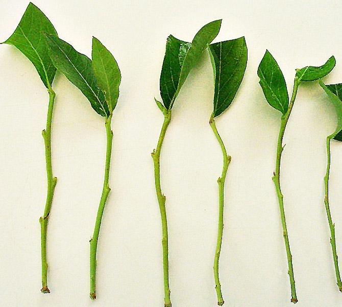 Šilauogės auginiai