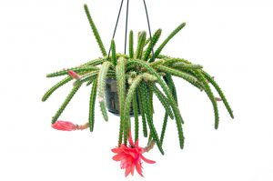 Svyrantis kaktusas