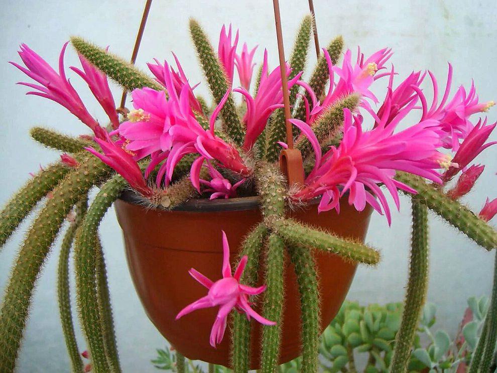 Svyrantis kaktusas 'Aporocactus'