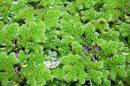 Augalas azolė (Vandens papartis)