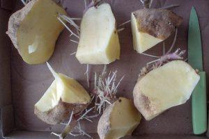 Bulvės dauginimas vegetatyviniu būdu