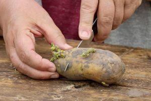 Bulvių derliaus didinimas