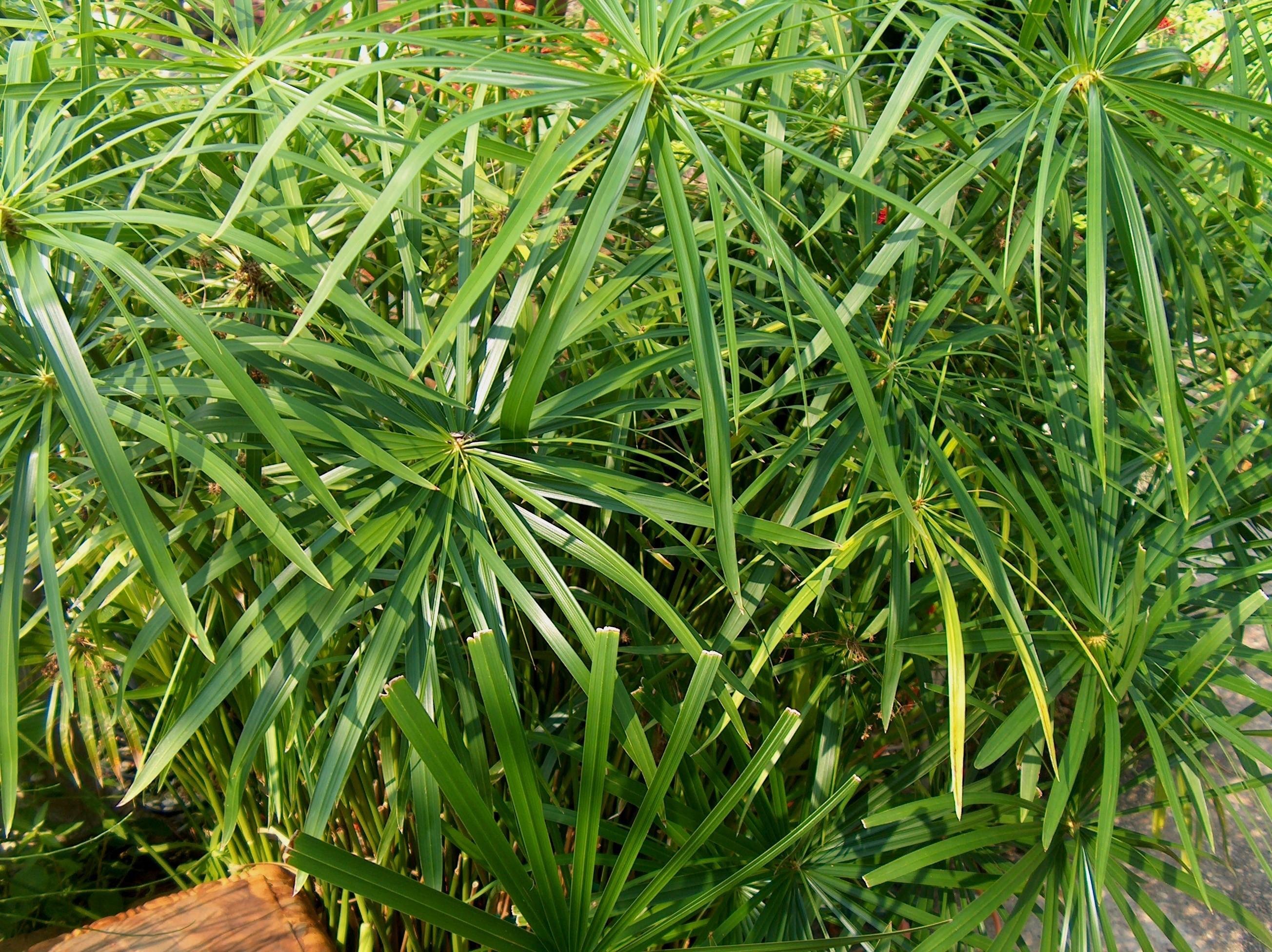 Grakščioji viksvuolė (cyperus gracilis)