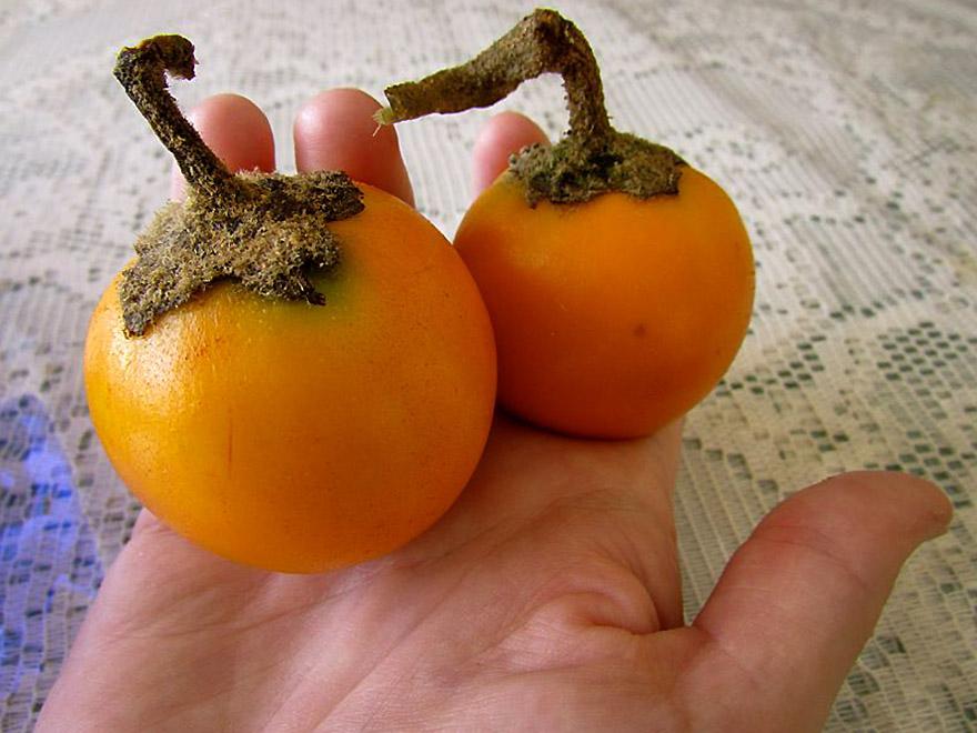 Kiauliauogės vaisius