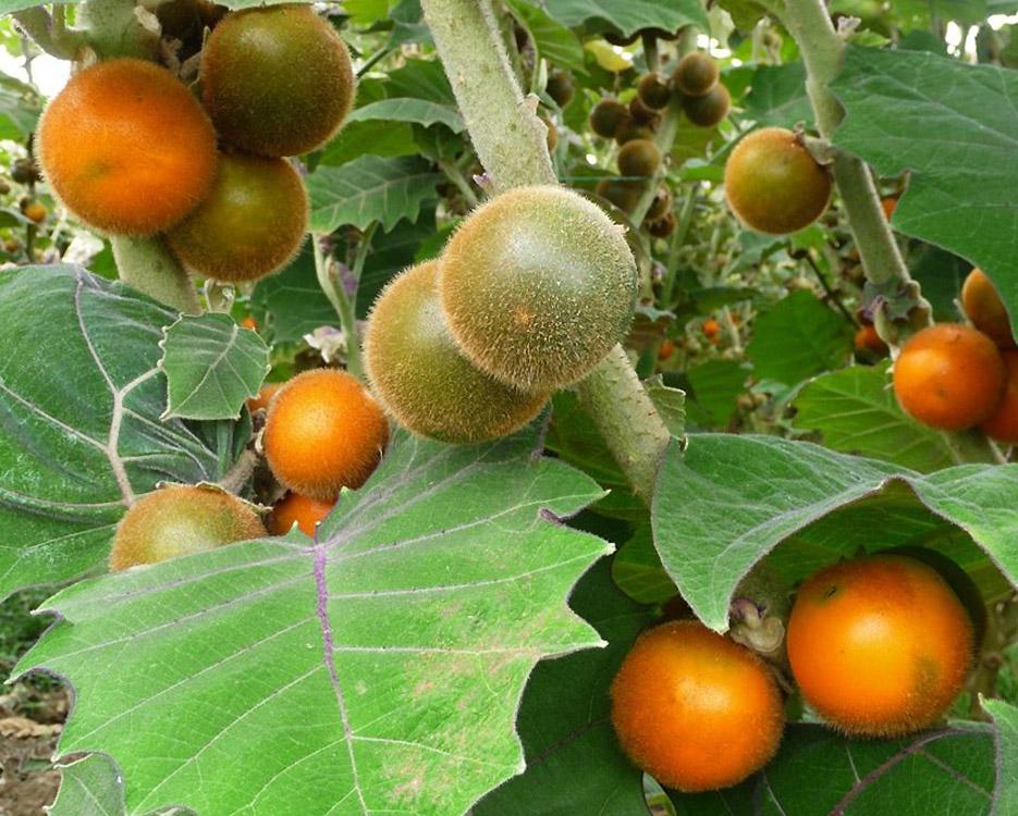 Kiauliauogių vaisiai