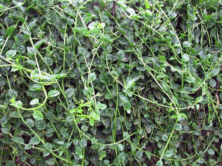 Malabaro špinatas (Augalas bazelė)