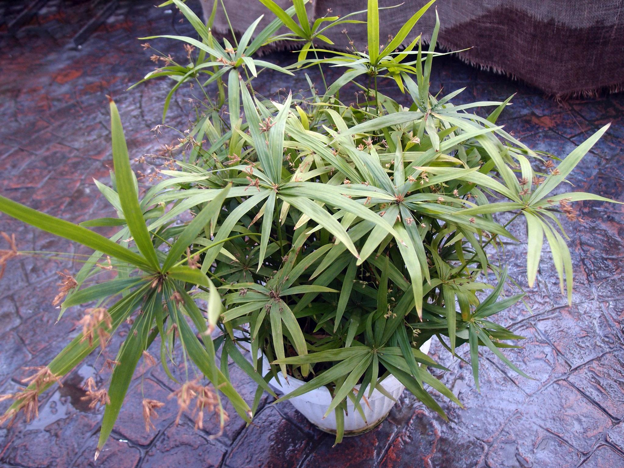 Padrikoji viksvuolė (cyperus albostriatus)