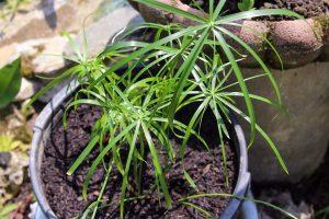 Papirusas (augalas)
