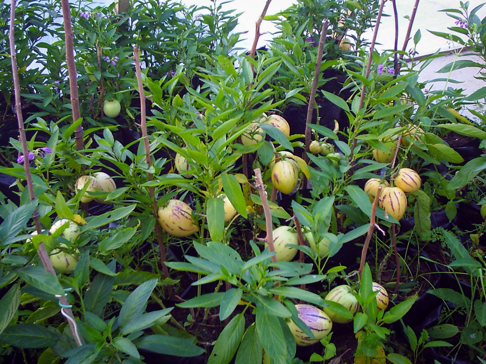 Pepinų auginimas