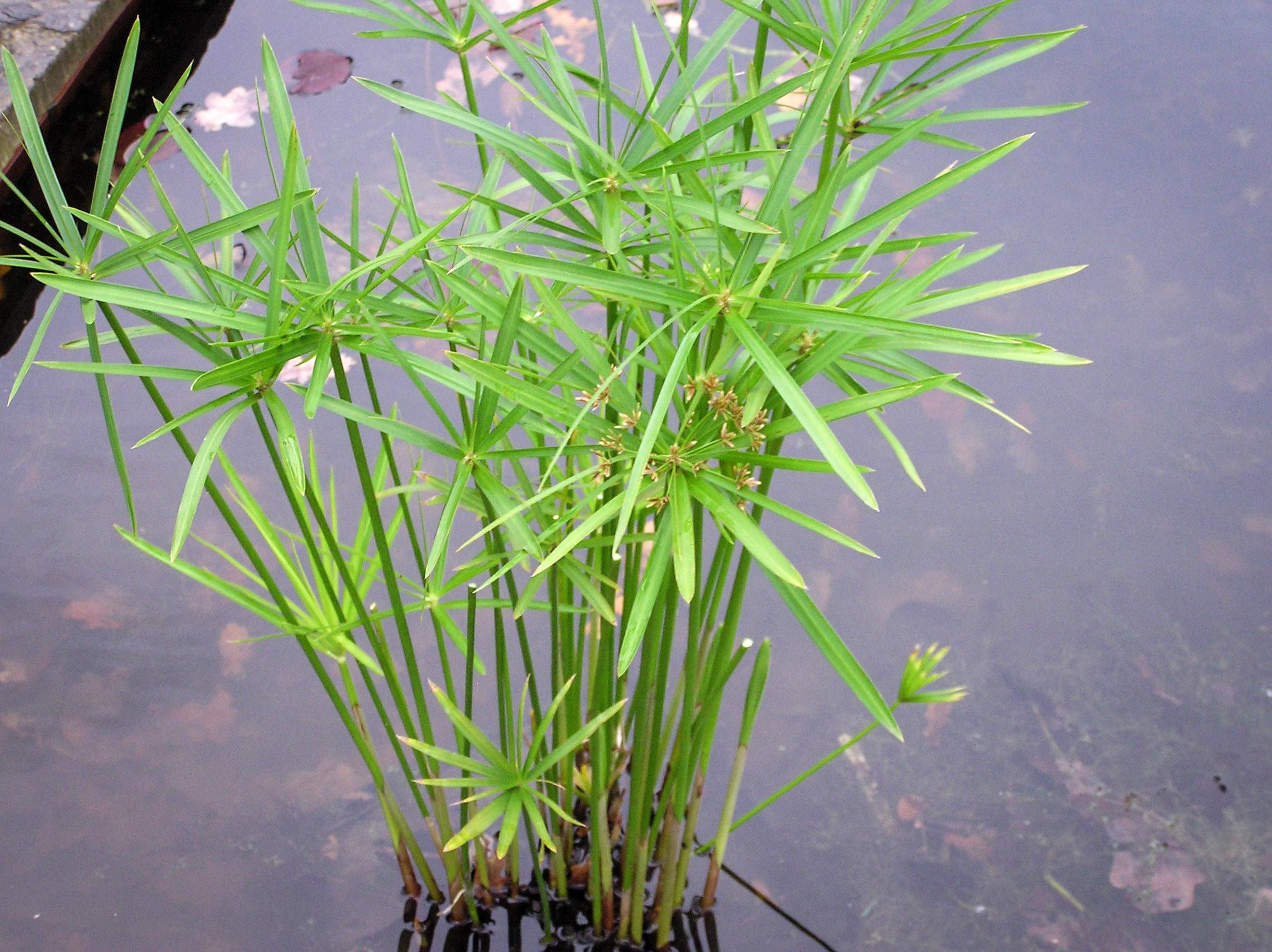 Pražangialapė viksvuolė (cyperus alternifolius)