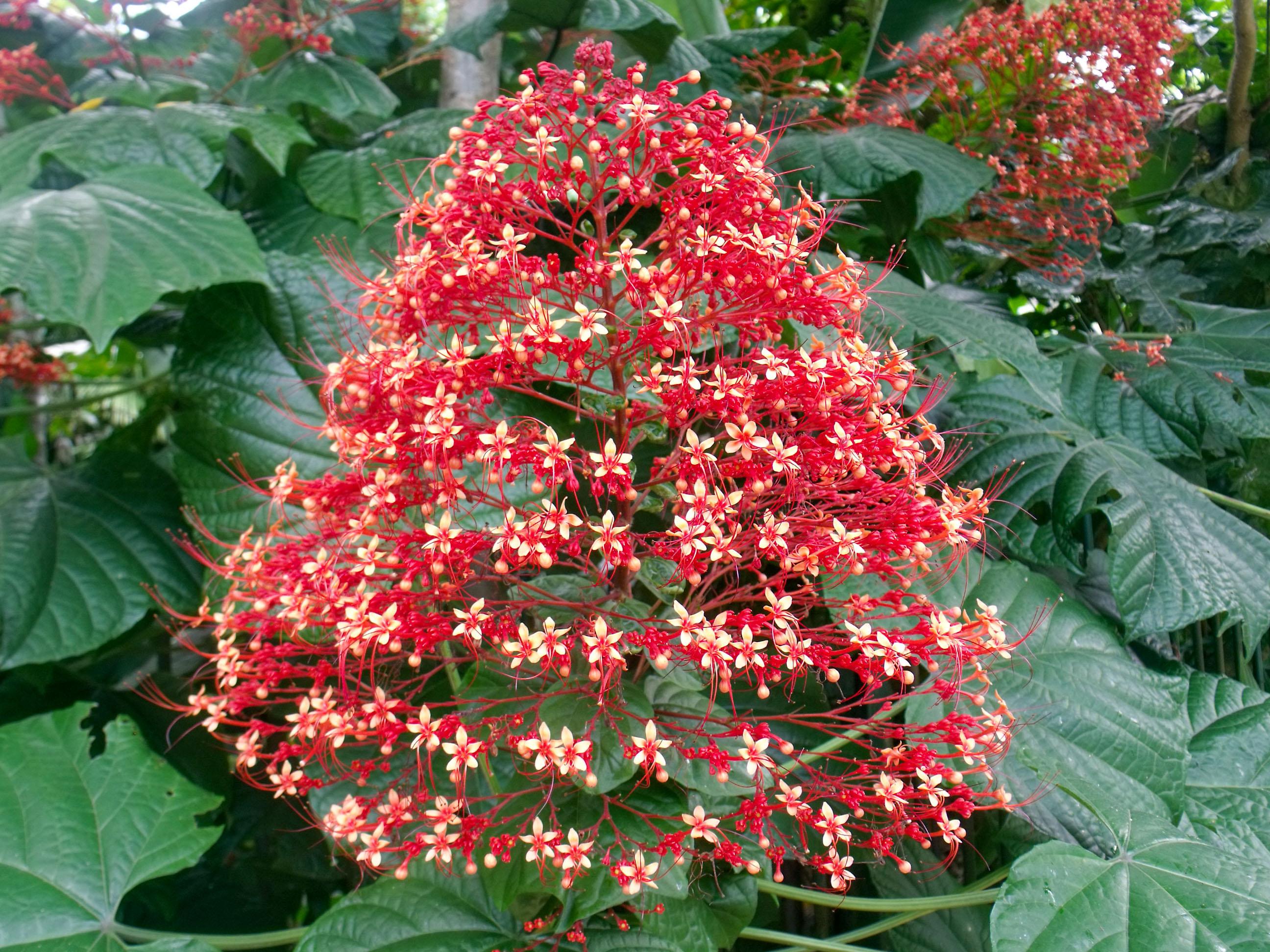 Šluotelinis šventmedis 'pagoda flower'