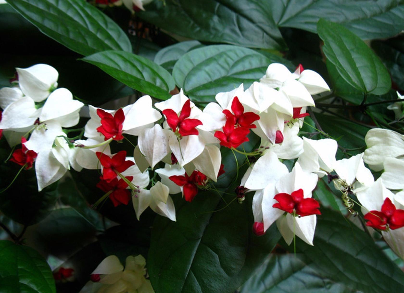 Tomsono šventmedis 'Clerodendrum thomsoniae'