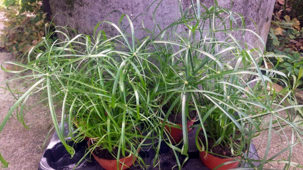 Viksvuolės (papiruso augalas)
