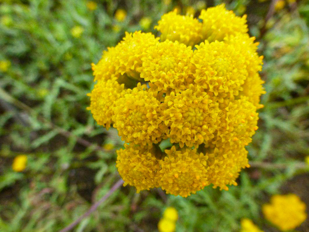 Žydintis augalas lonas