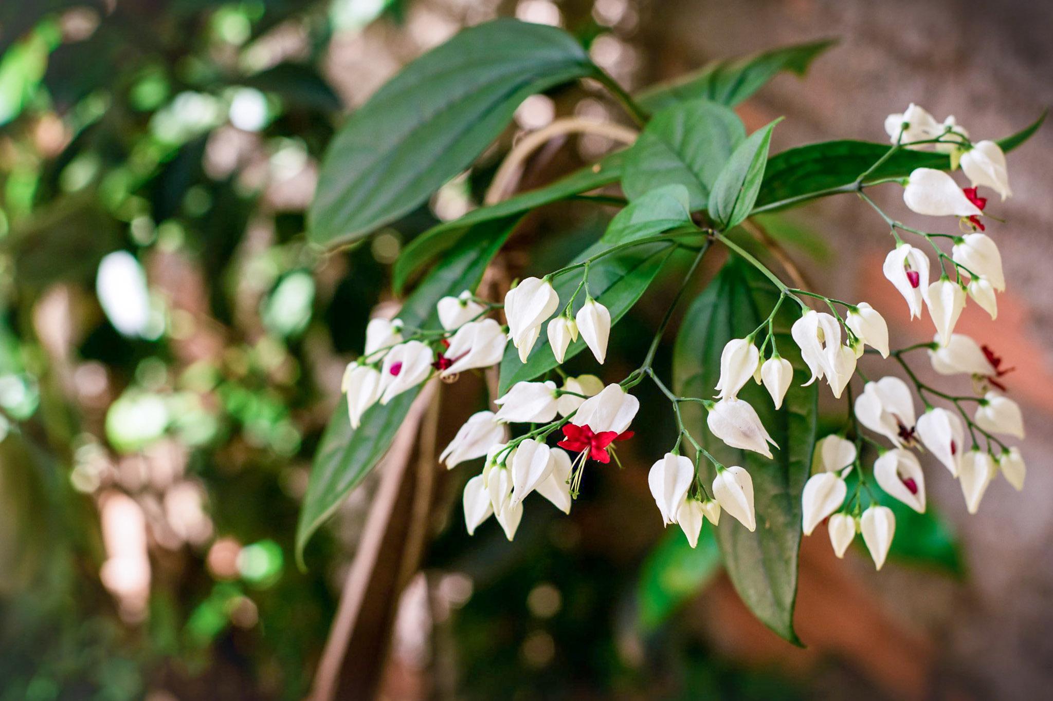 Žydintis augalas tomsono šventmedis