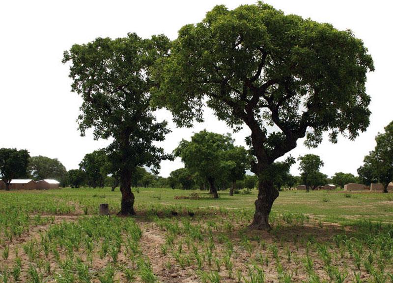Afrikinis sviestmedis (taukmedis)