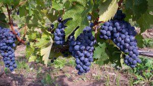 Amūrinis vynmedis (vynuogė)
