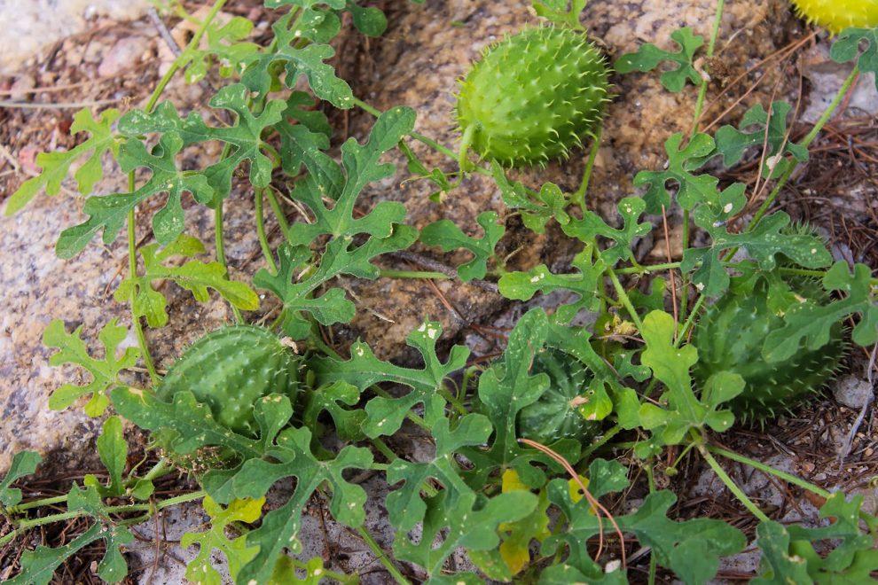 Antilinis melionas