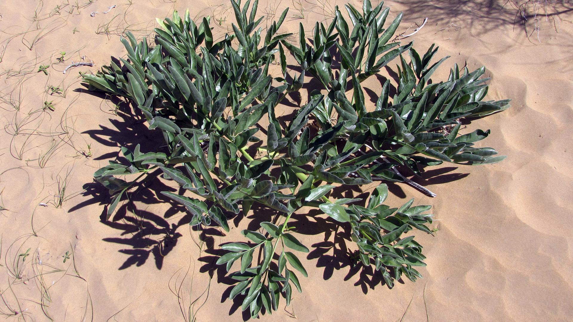 Augalas ferula (dvokiančioji)