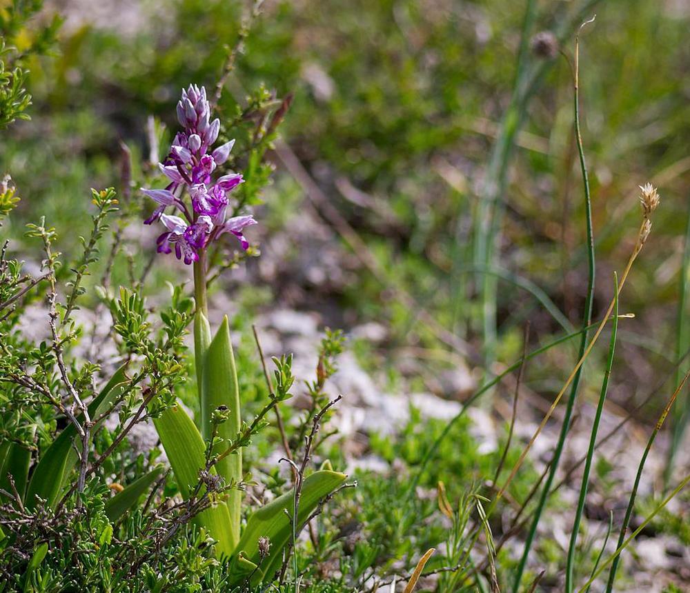 Augalas gegužraibė (Orchis militaris)