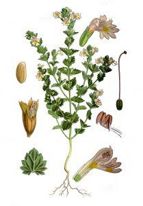 Augalas pievinė akišveitė botanikoje