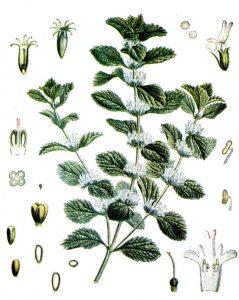 Augalas šantra botanikoje