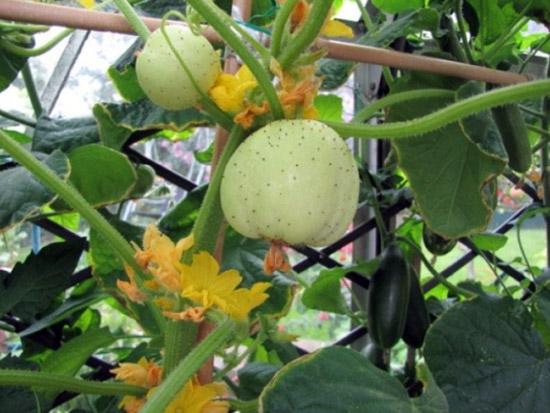 Augantys citrininiai agurkai