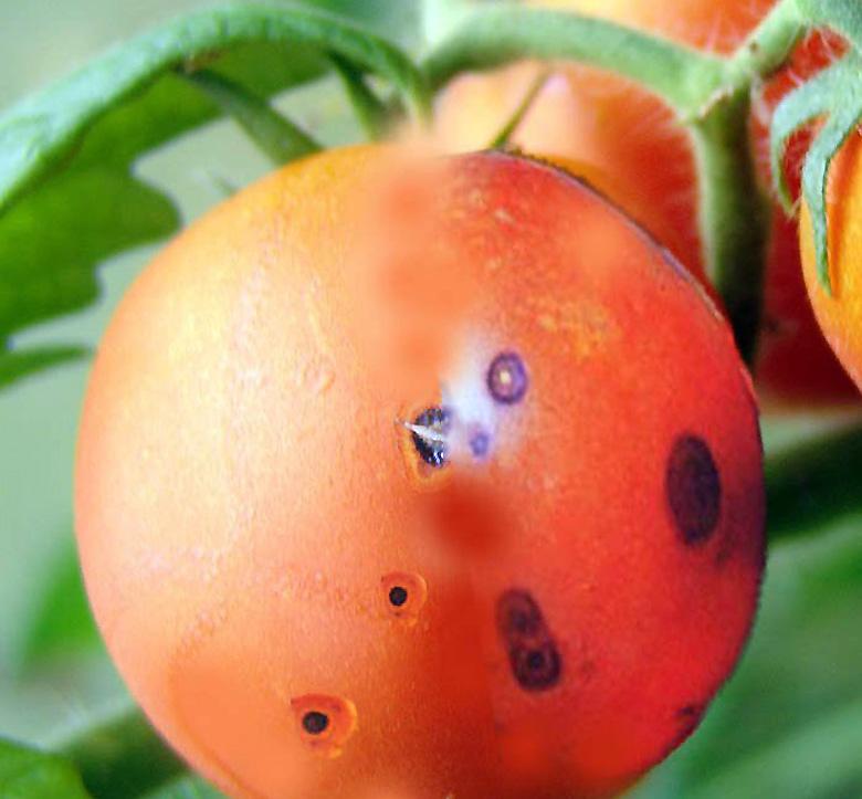 Bakterinis pomidorų vėžys