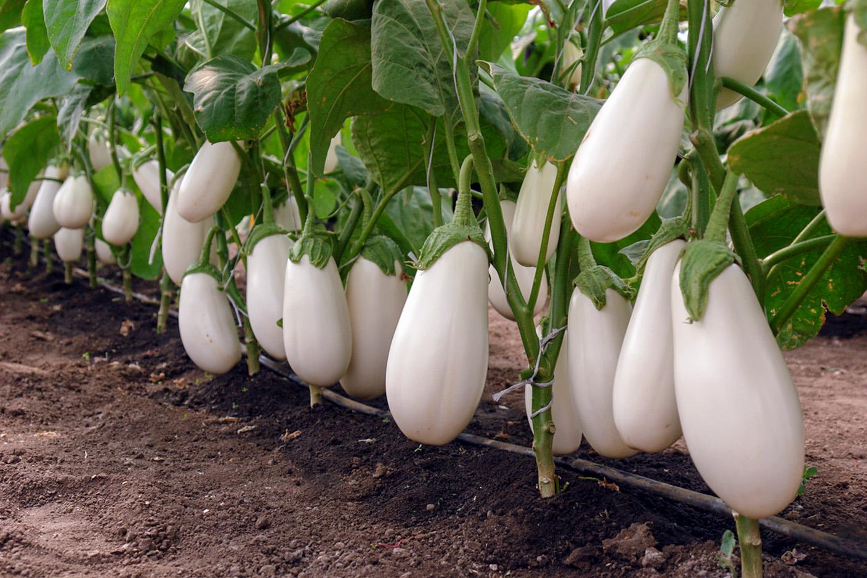 Naminiai baklažanai (balti)