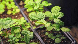 Braškių auginimas iš sėklų