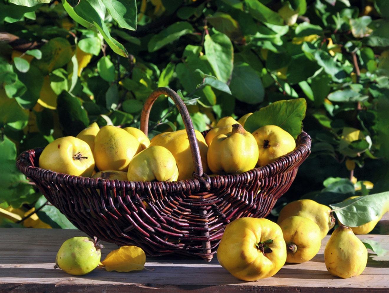 Cidonijos vaisiai