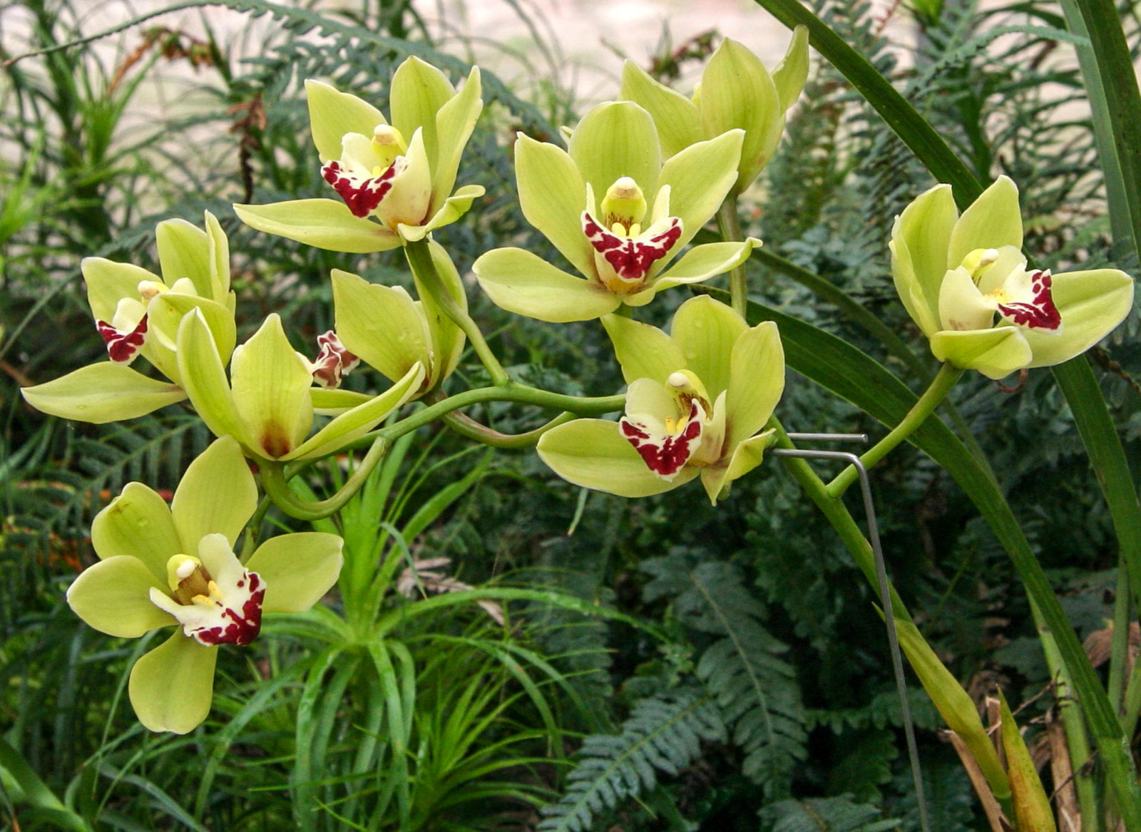 Cimbidis orchidėja