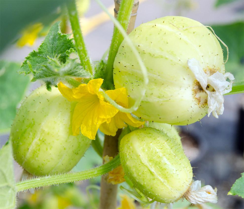 Citrininiai agurkai