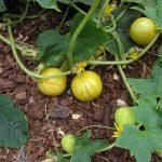 Citrininis agurkas
