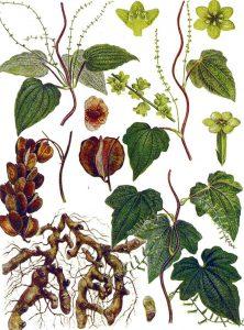 Dioskorėja botanikoje