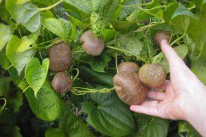 Diskorėjos augalo vaisiai