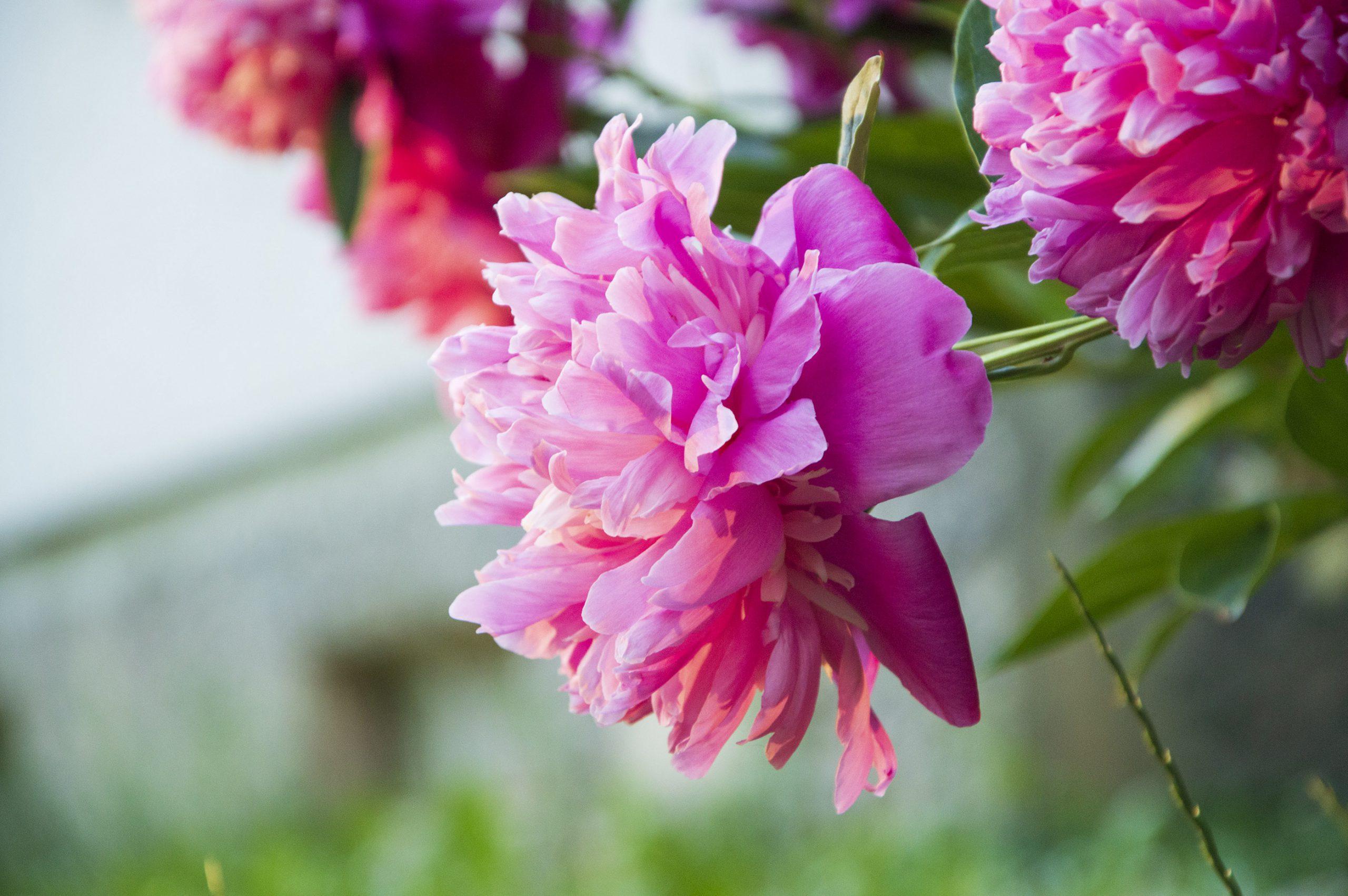 Gėlė bijūnas (pinavija)