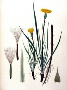Gėlė valgomoji gelteklė botanikoje