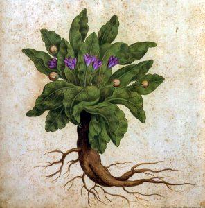 Gėlė mandragora (mandrake)