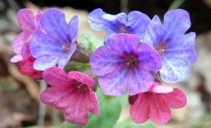 Gėlė plautė