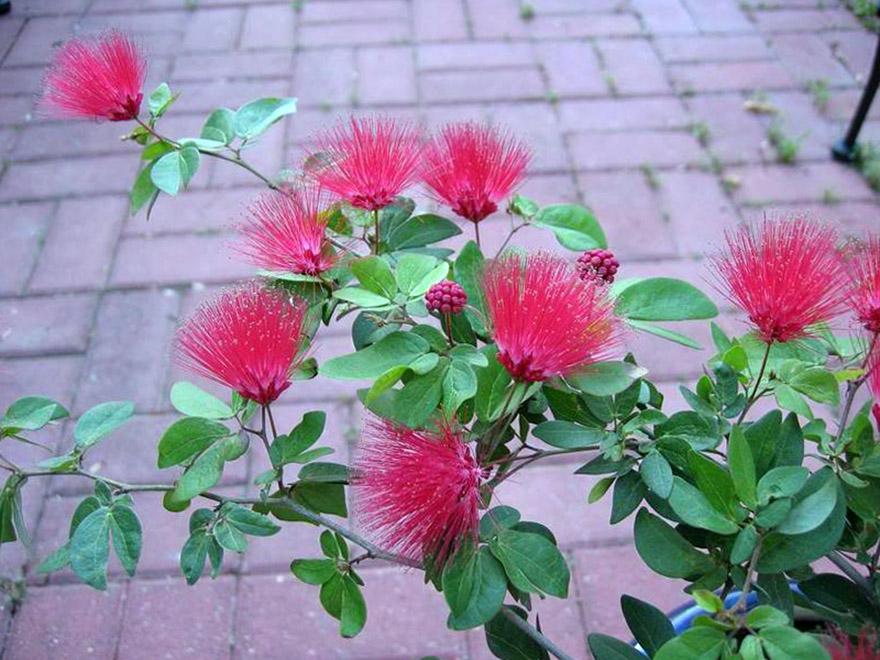 Gėlė puošva