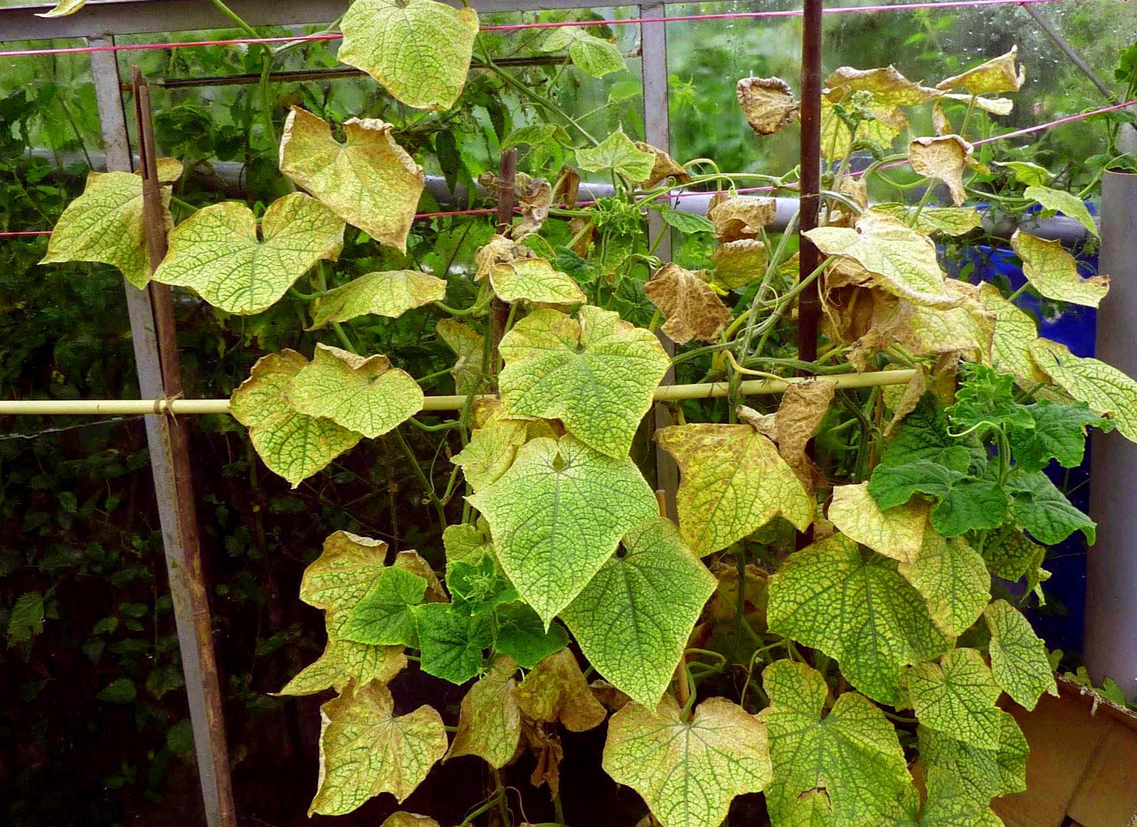 Gelsta agurkų lapai šiltnamyje