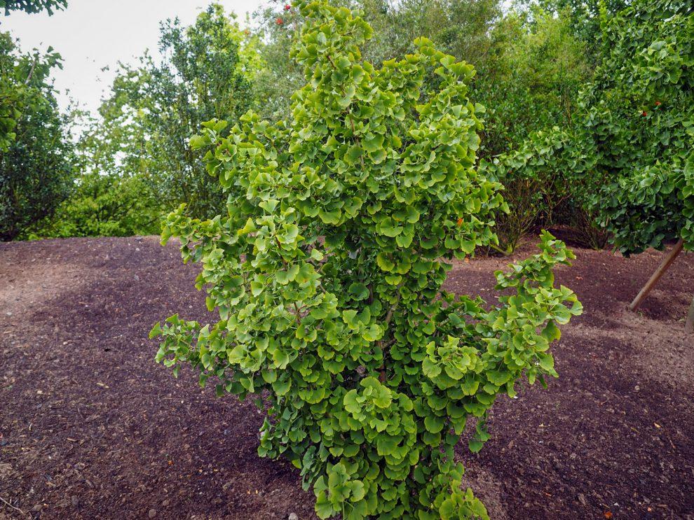 Ginkmedžio auginimas