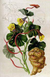 Gumbinė nasturtė botanikoje